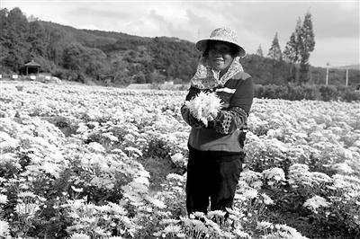 一朵菊花富了宁波这个村 村民也回来了 收入是打