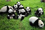 严重过敏致多器官衰竭 成都大熊猫基地公布两幼仔死因
