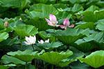 铁岭:湿地荷花美