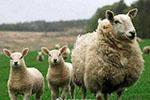 海关总署:禁止直接或间接从葡萄牙输入羊及相关产品