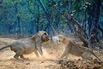 印度两只狮子发生激烈争吵 游客汽车上观看罕见场面