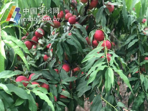 油桃的外表 冬枣的口感 宁波地产枣油桃吃过吗?