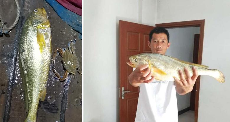 宁海渔民捕到一条4斤多野生大黄鱼 卖了1.5万元