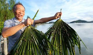 """东钱湖人的老法子 用棕榈树叶""""下""""蛳螺你可见过?"""