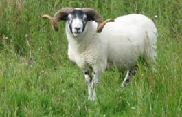 蒙古国捐赠的3万只羊要来了 隔离检疫后移交中方