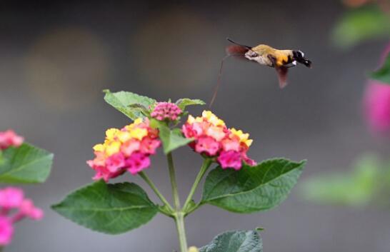 花丛中的蜂蛾