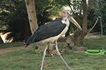 身份确认了!奇特大鸟就是秃鹳 原来是动物园驯飞时迷路了