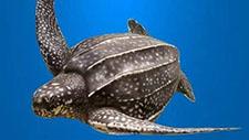意外捕获百公斤重棱皮龟 象山船老大果断放归大海