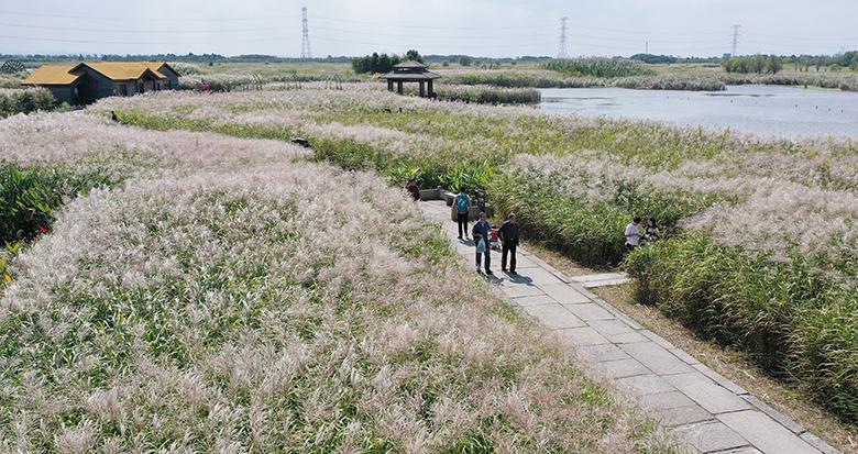 美不胜收!杭州湾湿地芦花盛开