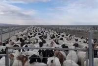 蒙古国捐赠的3万只活羊已全部进入隔离区