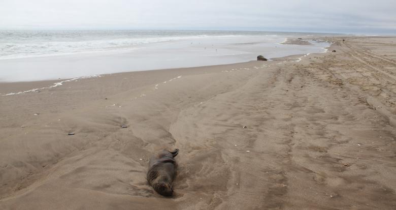 纳米比亚海岸现5000多头小海豹尸体