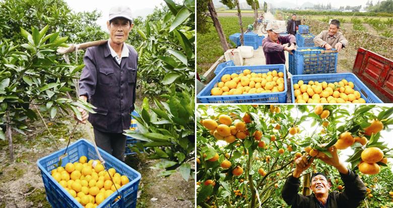 金秋橘子黄