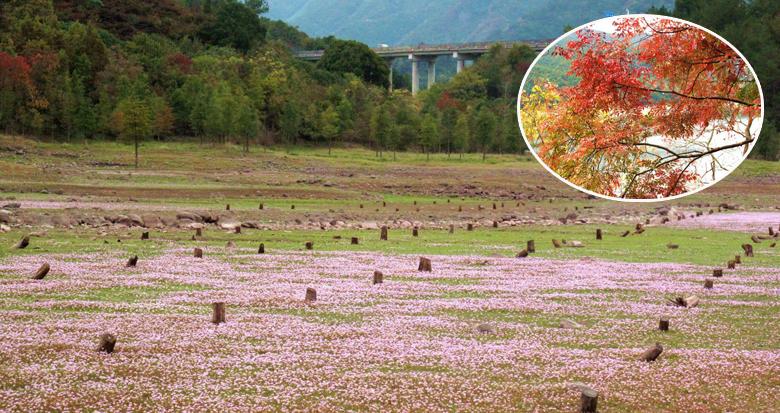 宁波红叶季来临了 这里还有蓼子草欲与红叶试比高