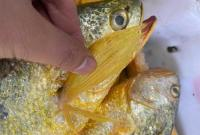 浙江海洋大学团队呼吁:请手下留情 不要抄了野生大黄鱼的老窝