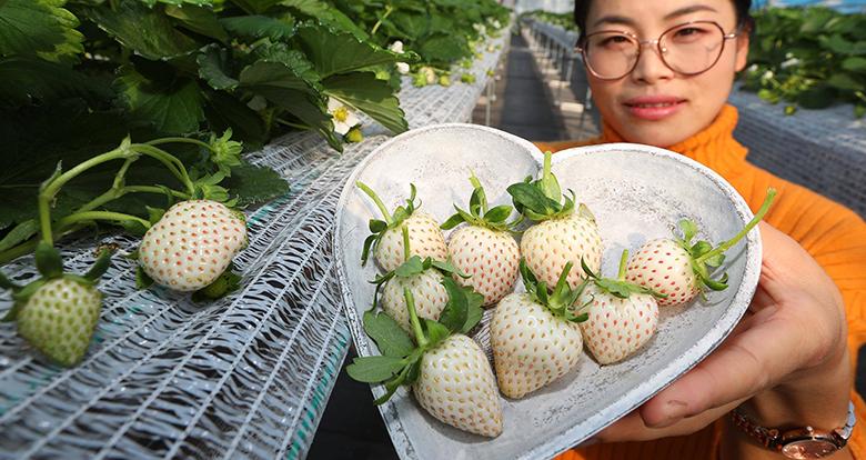 """宁波草莓界的""""白富美""""将上市"""