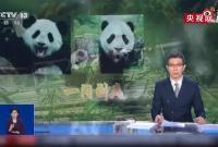 奇怪的知识增加了:中国竟有两种大熊猫!