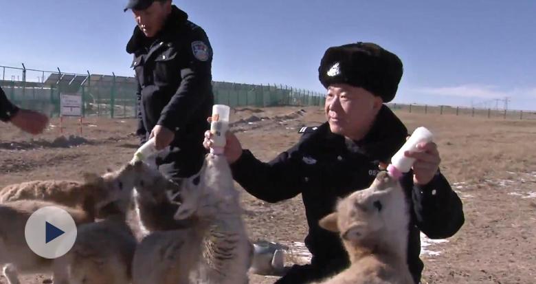 可可爱爱!可可西里有个藏羚羊幼儿园