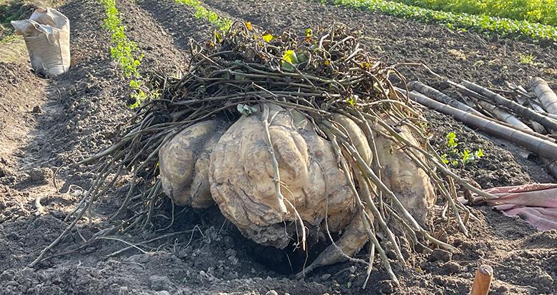 """108斤!鄞州农民种出一头""""超级大番薯"""""""