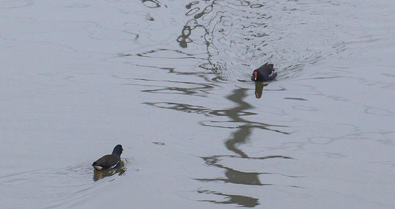 甬新河上的黑水鸡变多 宁波生态环境更好了