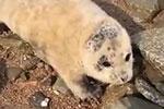 小海豹连续四天上岸求助 竟是国家一级保护动物