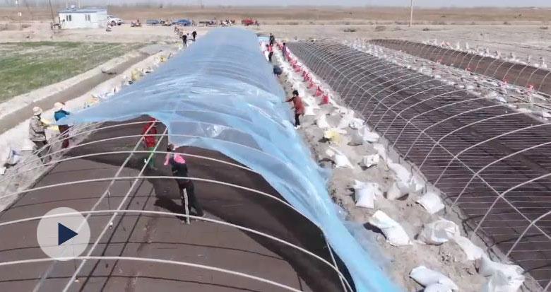 塔克拉玛干沙漠旁 袁隆平海水稻再育新苗