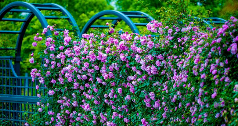 风光旖旎 月季花开正艳