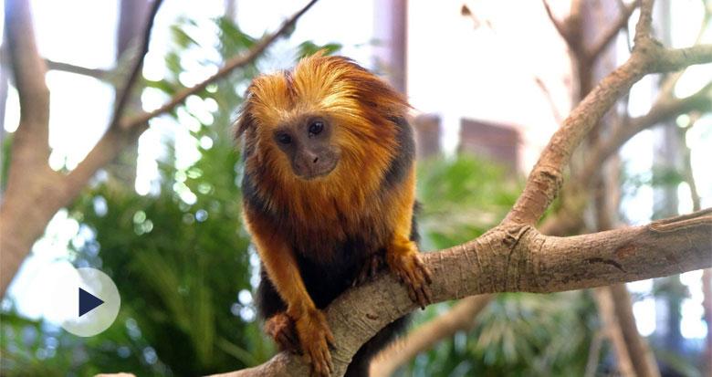 """它成为最珍稀的灵长类动物之一 原因是""""长得太美"""""""