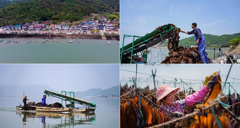 """宁波这个""""海上农场""""迎来海带丰收季 海带晾晒成假日风景线"""