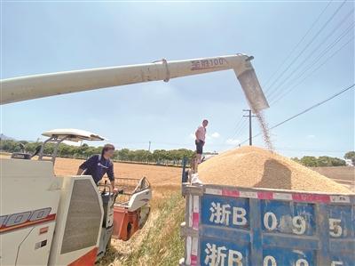 麦穗沉收割忙