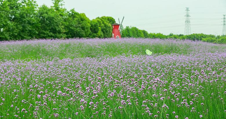 来江北荪湖花海赴一场浪漫紫色之约