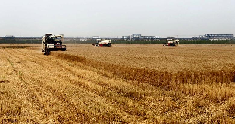 金色麦浪!镇海4100亩小麦开镰收割