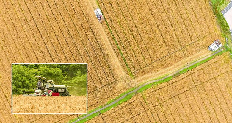 收获季节 宁波农户抢收小麦