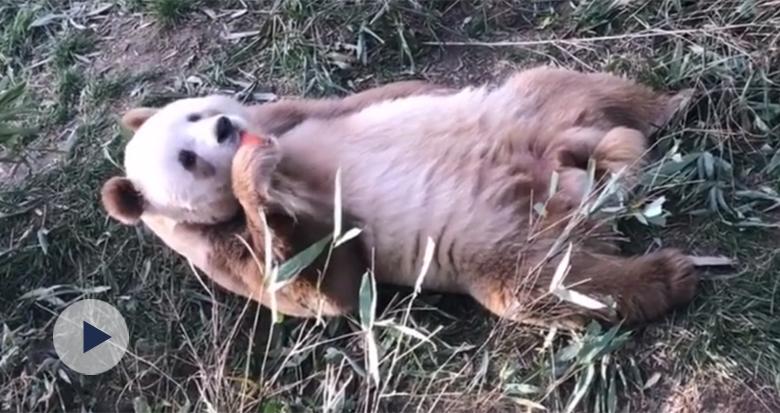 全球唯一棕色大熊猫要跟大家见面了