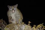 """""""雪山飞狐""""出现了!喜马拉雅地区发现羊绒鼯鼠新种"""