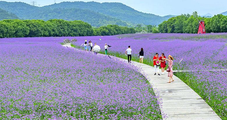 江北荪湖马鞭草迎盛放期 游人畅游紫色花海