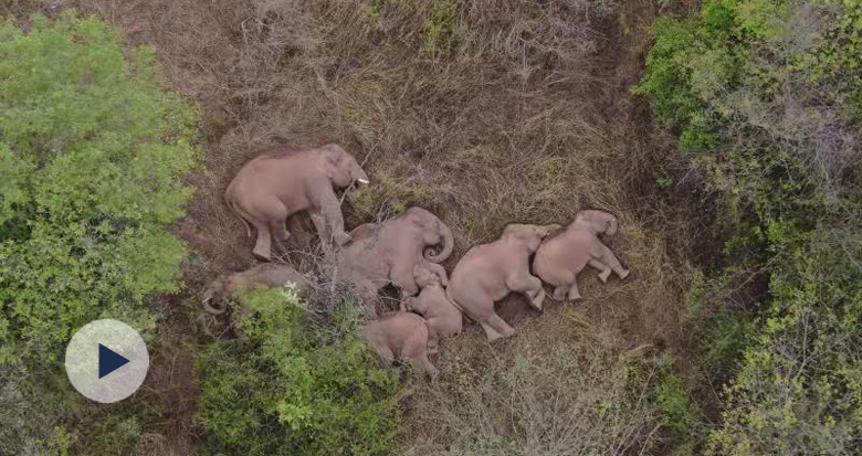 云南野象群暂停迁移 无人机拍下象群睡觉画面
