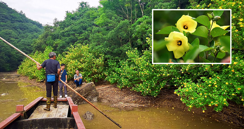 象山发现国内罕见的野生海滨木槿群落
