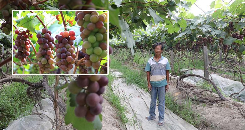 宁波葡农蔡永祥摔断肋骨 20亩葡萄面临滞销 你愿帮帮他吗?