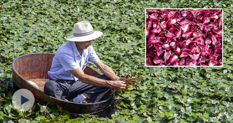 慈溪胜山千亩红菱迎来丰收季