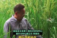 袁隆平爷爷禾下乘凉梦成真了!2米高巨型稻试种成功