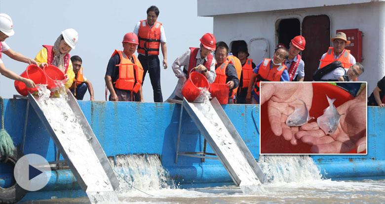 7.5万尾东海银鲳人工鱼苗放归大海
