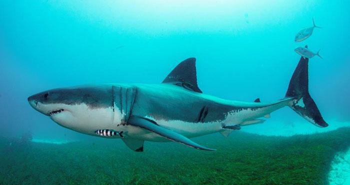 澳报告称12%在澳鲨鱼类物种面临灭绝风险