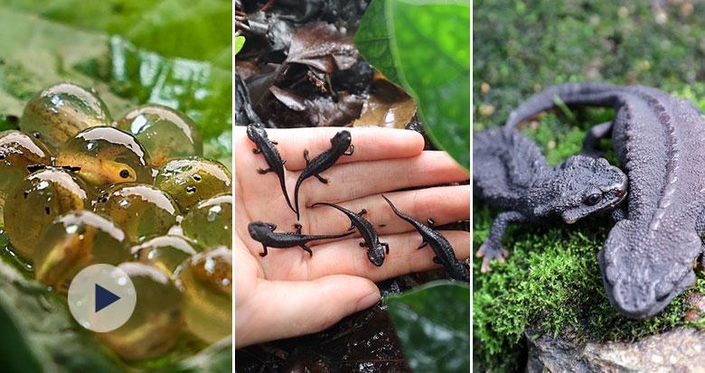 cop15探宁波 | 国家一级保护动物镇海棘螈告别极度濒危