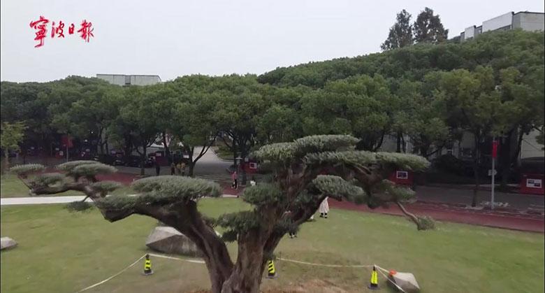 来自西班牙的千年古橄榄树安家宁波大学