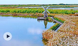 杭州湾国家湿地公园千顷芦花开了