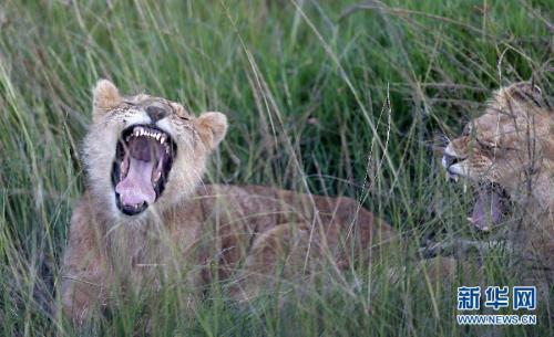 动物大迁徙即将上演 马赛马拉进入最佳旅游时节