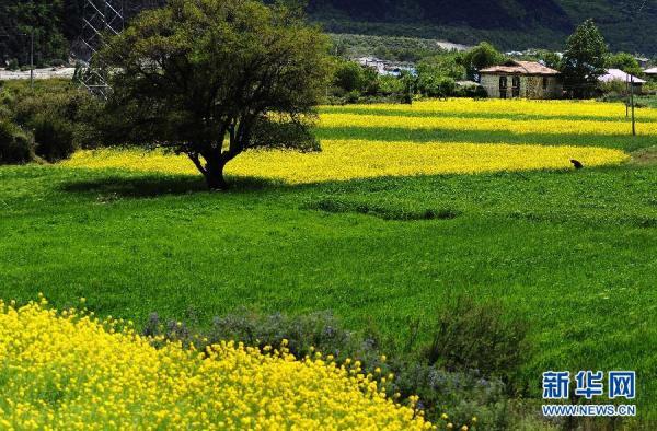 在西藏林芝地区工布江达县西日村,油菜花在田间盛放(6月4日摄).